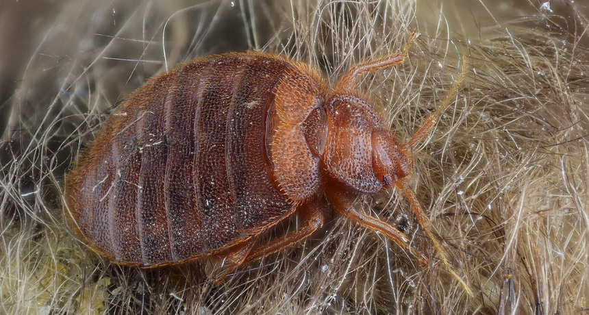 How Fast Do the Bed Bugs Spread and Where do They Live?